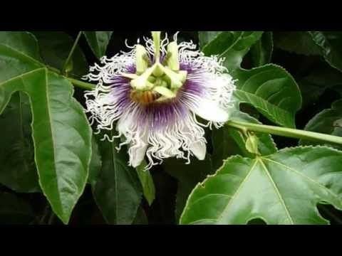 Growing Passion Fruit In Pots In San Diego Youtube Growing Passion Fruit Growing Seeds Passion Fruit