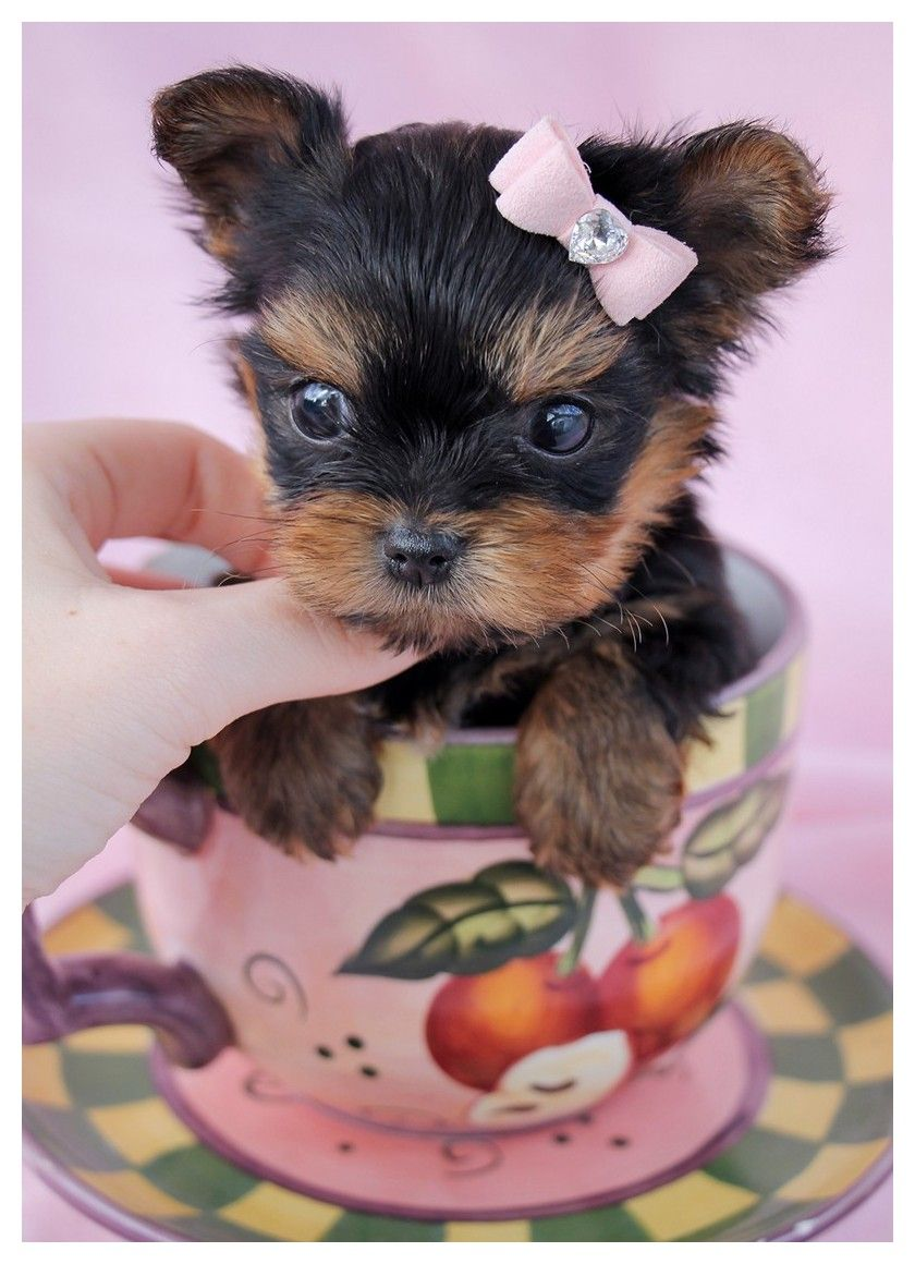 Want Advice On Dogs This Is For You With Images Teacup Yorkie Puppy Yorkie Puppy Yorkie