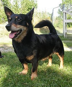 Lancashire Heeler Kinda Looks Like A Cross Between A Corgi And A