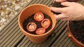 TOMATEN PFLANZEN: Etwas Erde kommt in einen Topf, die Tomatenscheiben oben drauf... #tomatenpflanzen