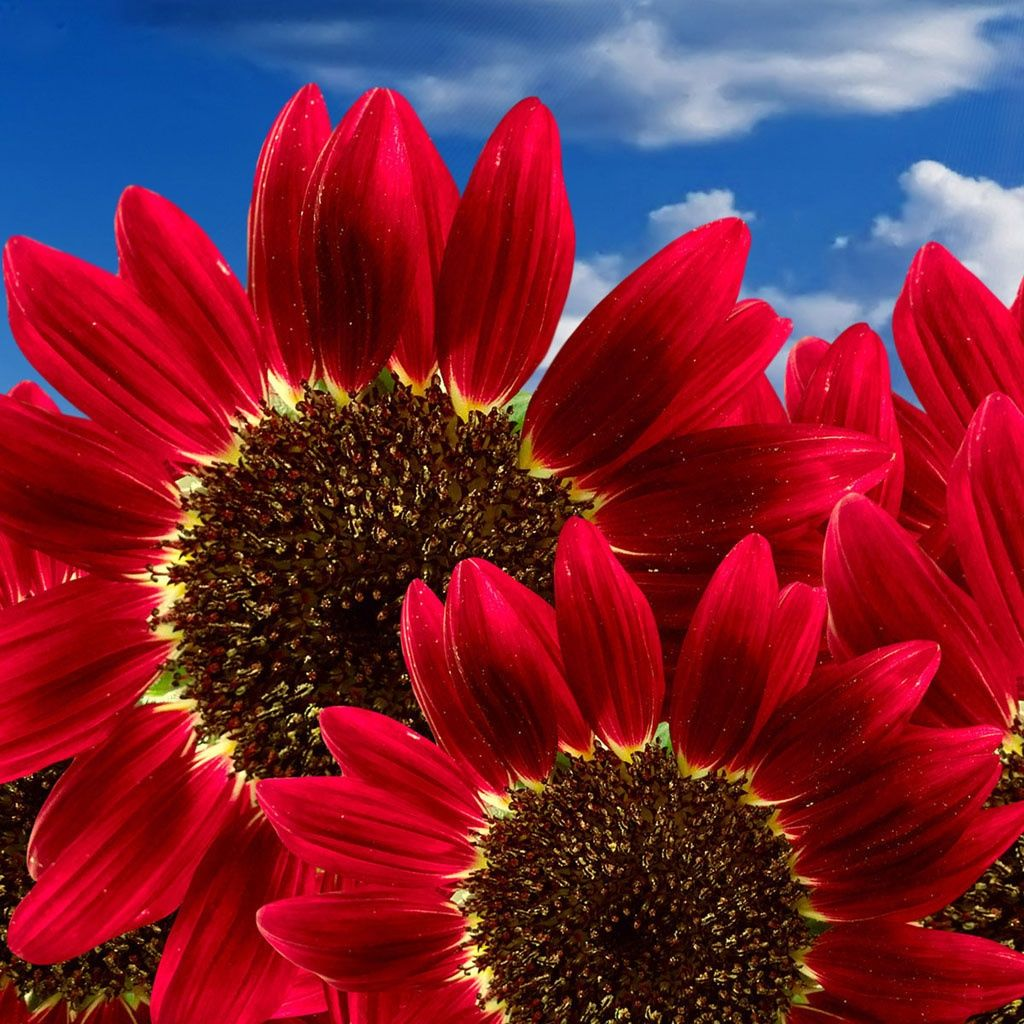 50 Annual Flower Garden Seeds Sunflower Red Sun Multiple