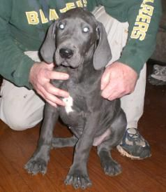 Great Dane Breeder When We Are Ready To Add Another To Our Family