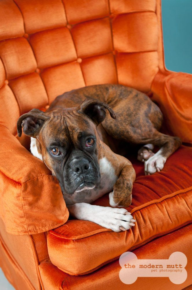 Boxer dog Gentry, what a handsome fella!