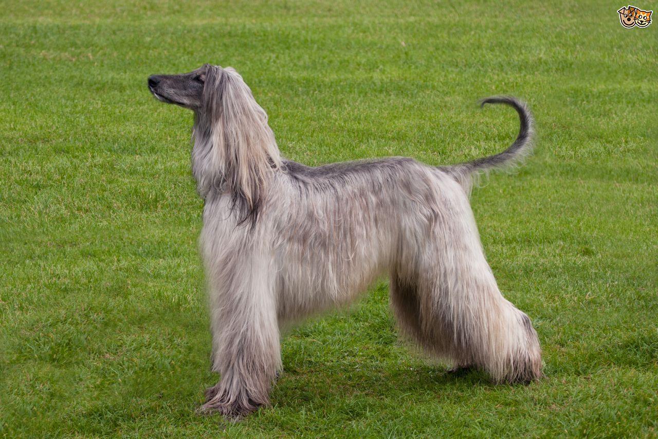 Afghan Hound Hound Dog Breeds Dog Breeds Afghan Hound
