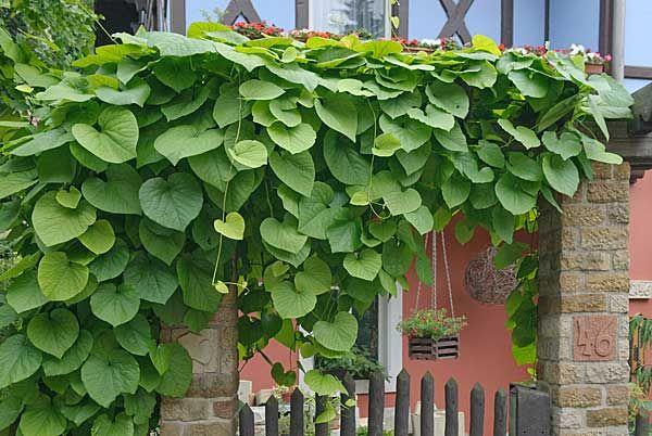 Diese Pflanzen wachsen drei Meter pro Jahr