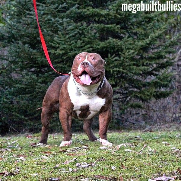 Mega Built Bullies Canada Bluenose Pitbulls Canada Xl Bullies