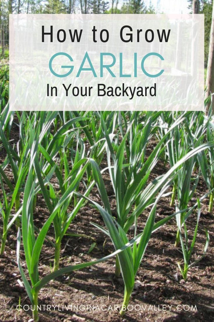Garlic grows well in Canada and is easily grown at home