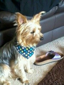 Lost: Tan And Silver Terrier Yorkshire Male In North West ...