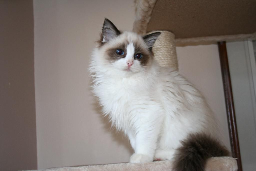 Adoring Ragdoll Cats Cats Fluffy Cat Orange Kittens