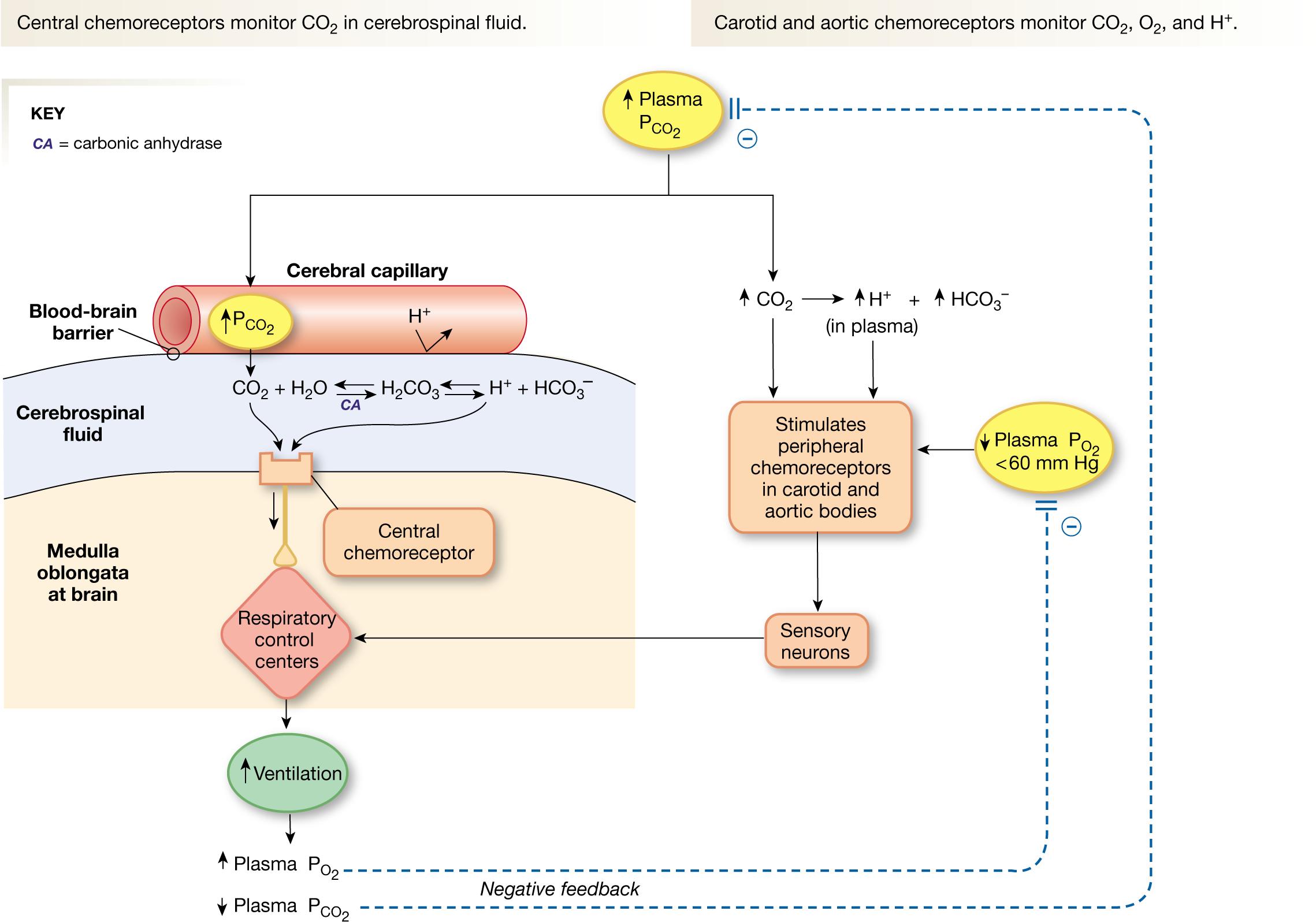 Regulation Of Ventilation