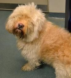 Poof Poof is an adoptable Old English Sheepdog Dog in Cleveland, OH.   I am spayed/neutered (altered) and have received preliminary vaccines and veterinary care.   Can't adopt me?  You can still provi...