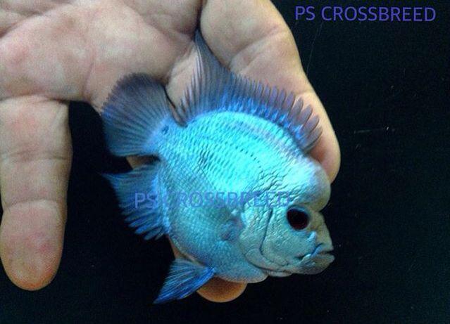 Dejlig Short Kropsform Thai Silk Flowerhorn T fisk-1471
