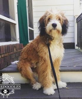 Sable Berendoodle Full Grown Bernedoodle Aussiedoodle Mini
