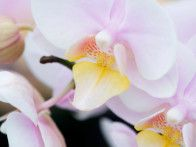The Brother Little Amaglad is a compact moth orchid with subtle, pale pink flowers and a pale orange lip.