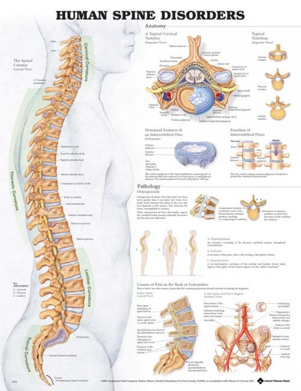 Diagram Of Human Spinal Cord Spinal Cord Diagram Labeled