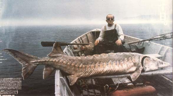 giant sturgeon - Google Search | Education | Pinterest ...
