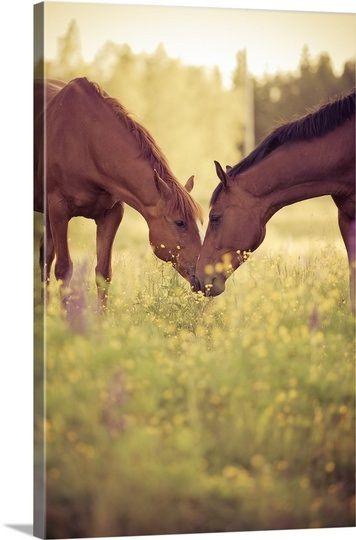 Two #horses in field, Sweden.