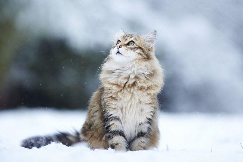 Norwegian Forest Cat Price động Vật đang Yeu Meo