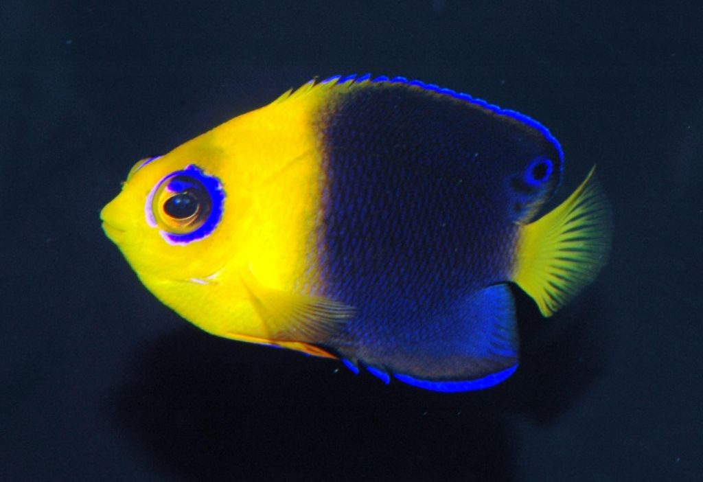 Rare Joculator Pygmy Angels Coming In Soon For Sale Angel Fish Aquarium Fish Salt Water Fish