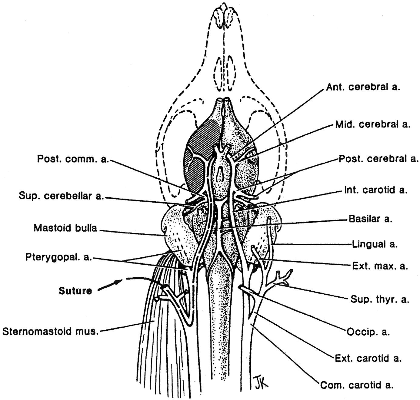 Image Result For Rat External Carotid Artery