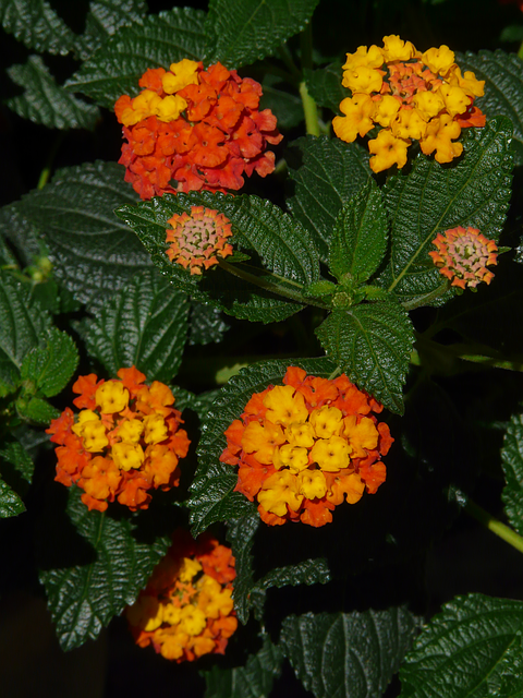 Free Image On Pixabay Lantana Lantana Camara Annual Flowers Shade Flowers Annual Flowers For Shade