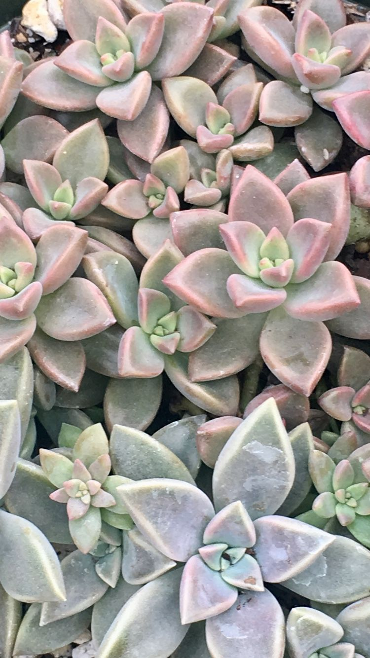 Succulent Wallpaper In 2019 Succulents Wallpaper