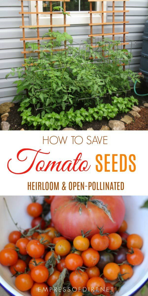 How To Save Tomato Seeds Growing Tomatoes From Seed Tomato