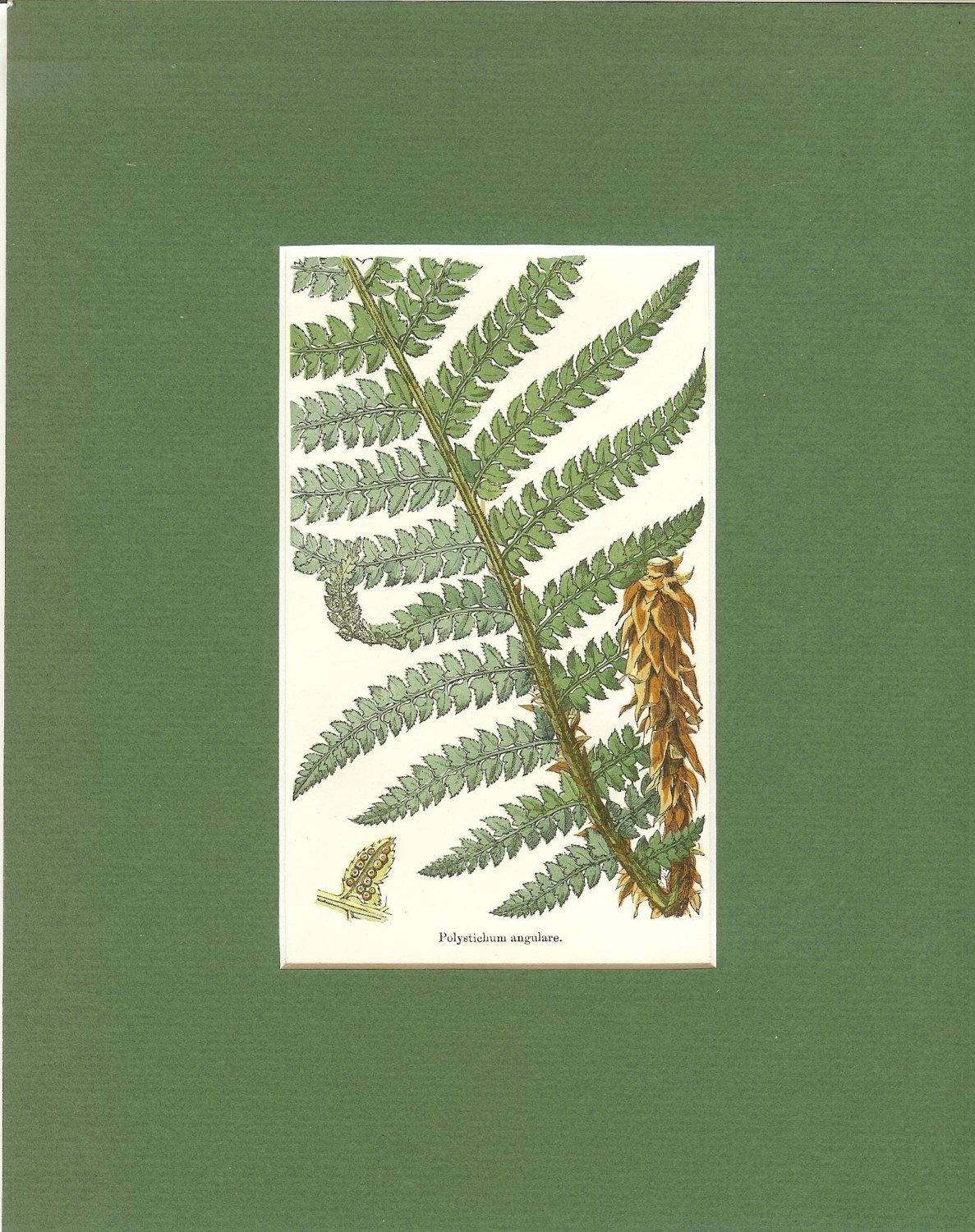 Antique Victorian 1890s Matted Fern Print- Polystichum Angulare-Soft Shield Fern- Vintage Book Plate Book Illustration Nature Print by printsandpastimes on Etsy