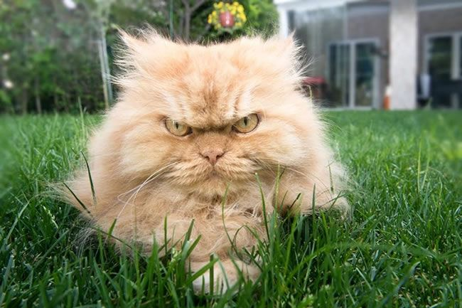 Hilarious Website Pictures Of The Most Angriest Cats On The Planet