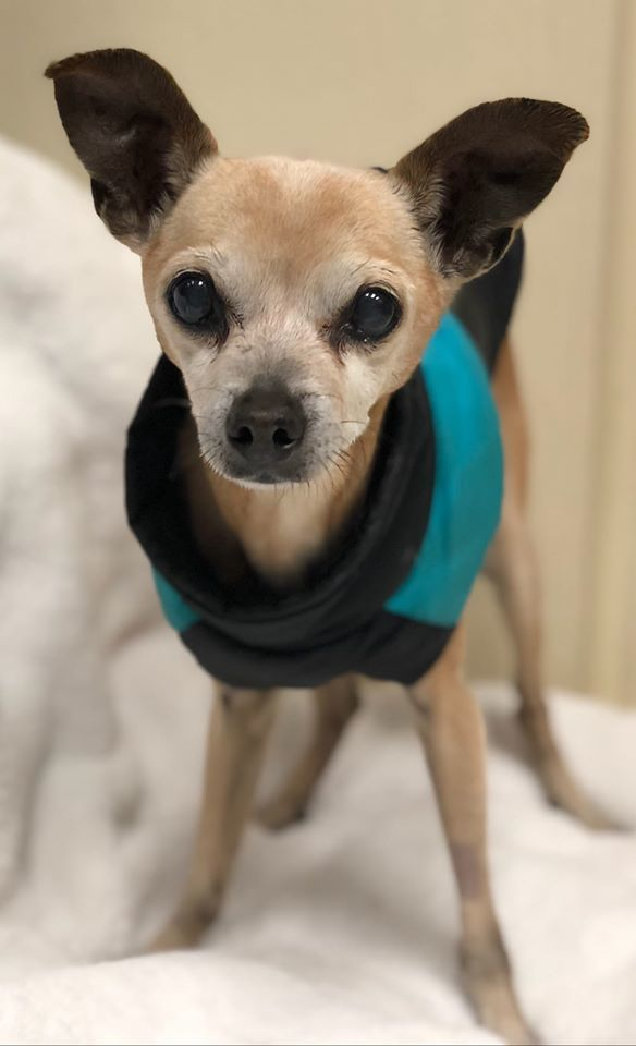 Adopt Charlie On Petfinder In 2020 Chihuahua Rescue Help Homeless Pets Dog Adoption