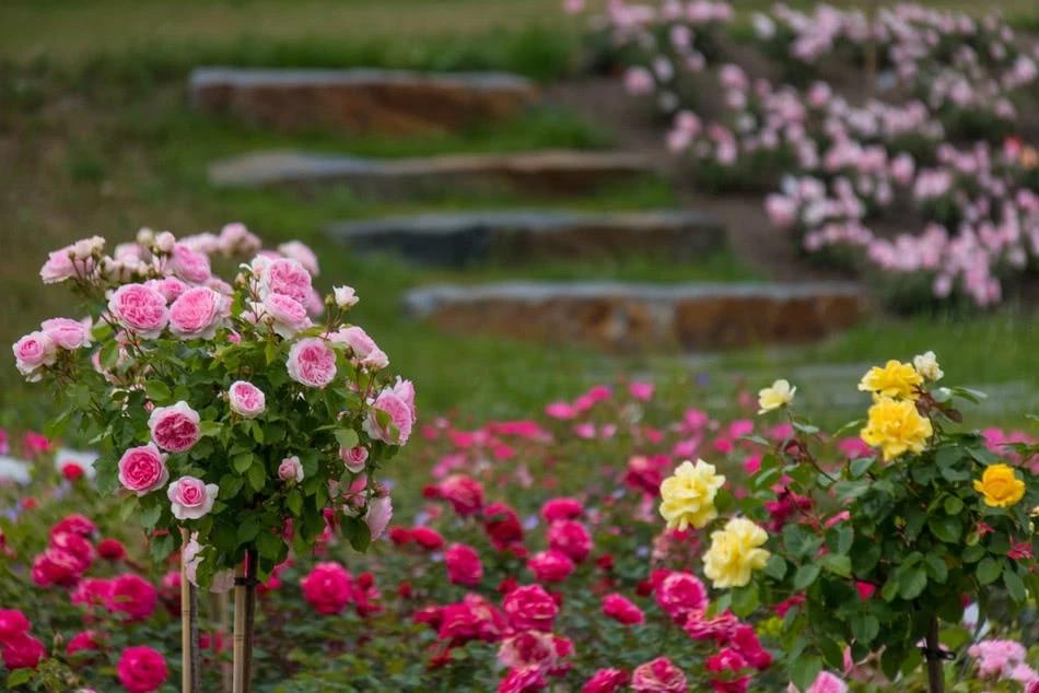 Roze W Ogrodzie Plants