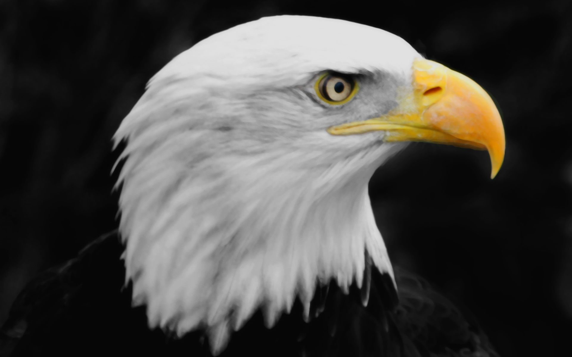 Cool Bald Eagle Bird Free Download Picture Eagle Wallpaper