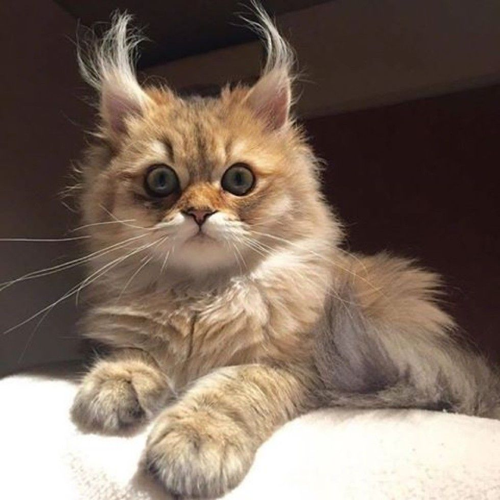 These 7 Kitties Have Some Serious Ear Floofs Cats Animals Cute Animals