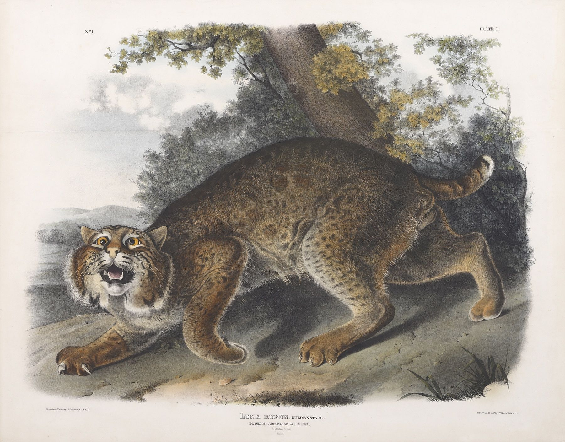 From Birds to Beasts: Audubon's Last Great Adventure. On view through August 30, 2015. Currier Museum of Art, Manchester, New Hampshire www.currier.org  PHOTO CAPTION: John James Audubon, Common American Wild Cat (Bobcat), 1845-48, Hand-colored lithograph. Courtesy of New Hampshire Audubon, Concord, New Hampshire.