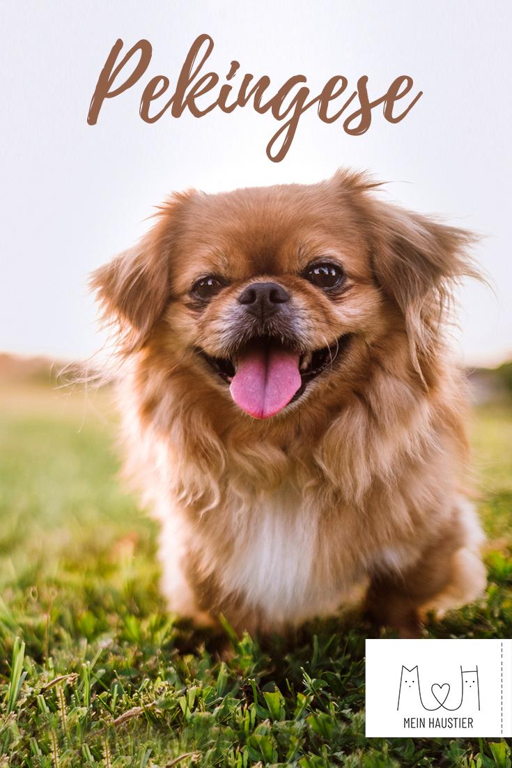 Pekingese Steckbrief Hunderassen Haustiere Hunde