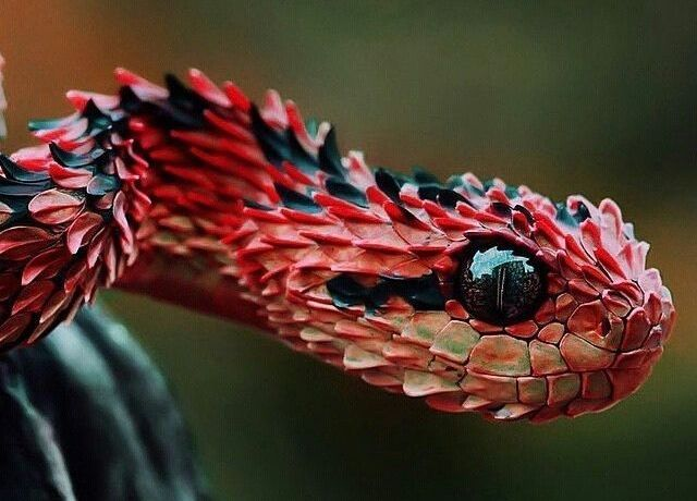 22 Pics of the Coolest Poisonous Snake in the World – the African Bush Viper