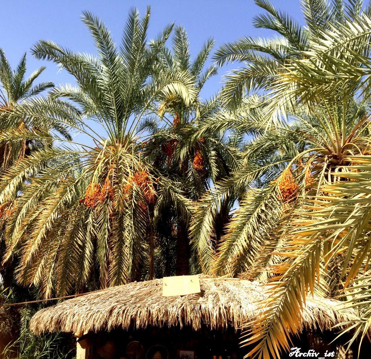 نخيل البلح في واحة سيوه Siwa Oasis Handmade Amazigh Morning Colorful Siwa Oasis Story Inspiration My Muse