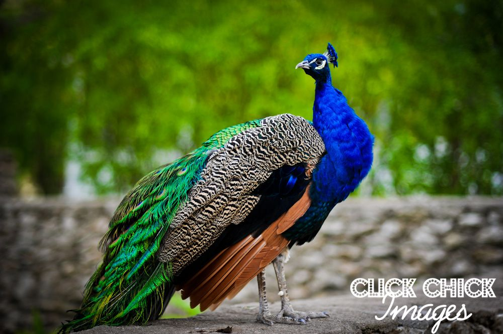 peacock photography - Google Search