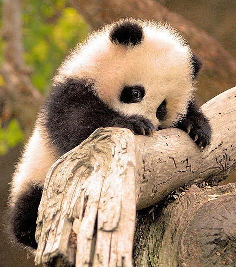 Un bébé panda mignon à croquer