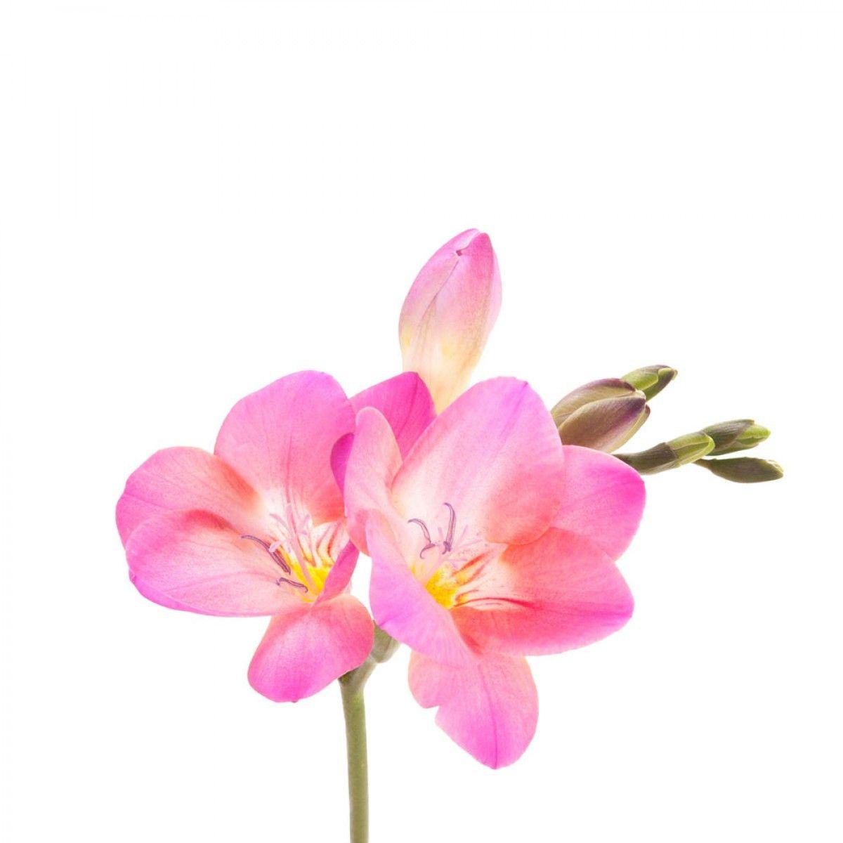 Pink Freesia Flower Muse Freesia Flowers Flower Painting Original Flower Painting