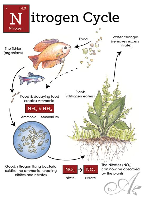 A refresher on how the nitrogen cycle works in your aquarium a refresher on how the nitrogen cycle works in your aquarium including how ammonia is ccuart Images