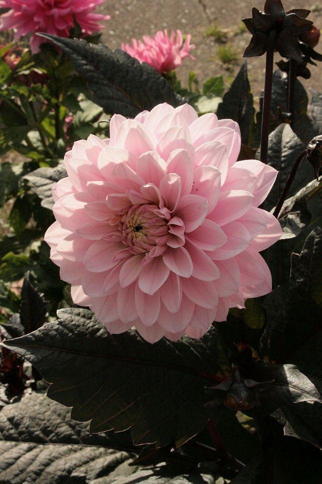 Hanne i haven: Overvintring af Dahlia i potter