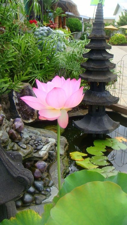 The beautiful Lotus pond outside of the Lotus Gallery in Kilauea town. :)