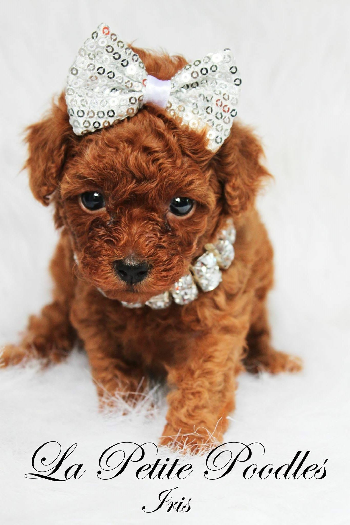 La Petite Poodles Poodle Dogs Animals