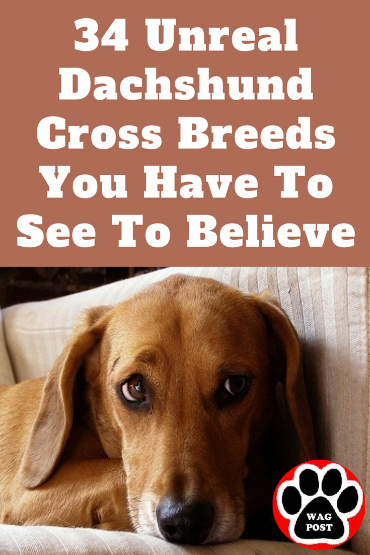 34 Unreal Dachshund Cross Breeds You Have To See To Believe Dachshund Cross Dachshund Mix Dachshund