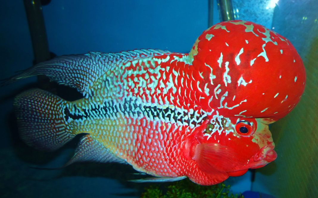 Top Attractive Types of Flowerhorn Cichlids Red dragon