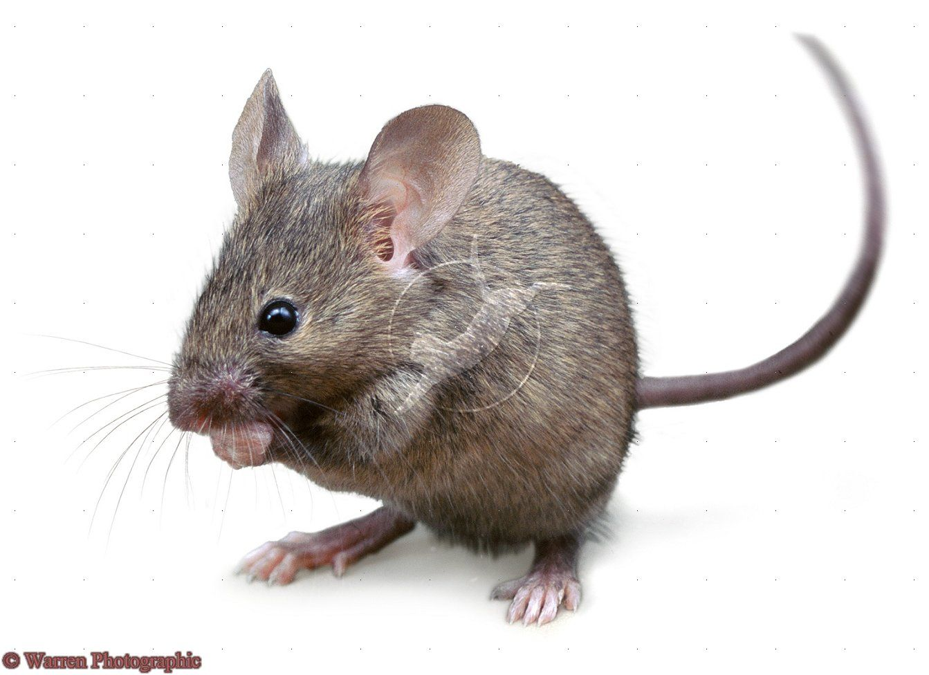 Peppermint To Get Rid Of Mice Pet Mice House Mouse Mouse Photos
