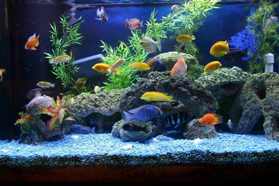 Fresh Water Aquarium Aquarium Fish Fish Tank Cichlid Aquarium