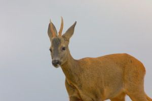 Foto de un macho de corzo. Autor Carles Pastor.