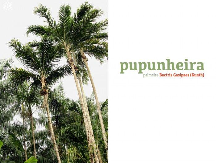 Pupunheira - Palmeira Bactris gasipaes (Kunth)